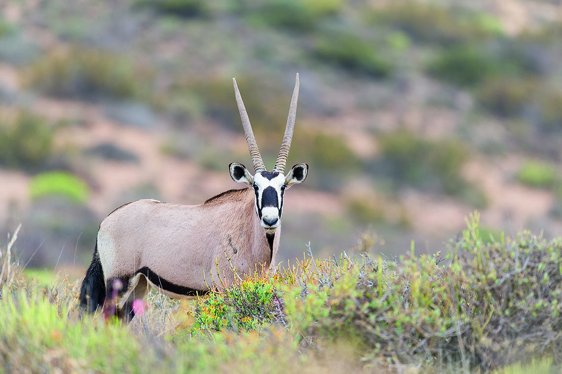 Gemsbok in the succulent veld of Namaqua National Park